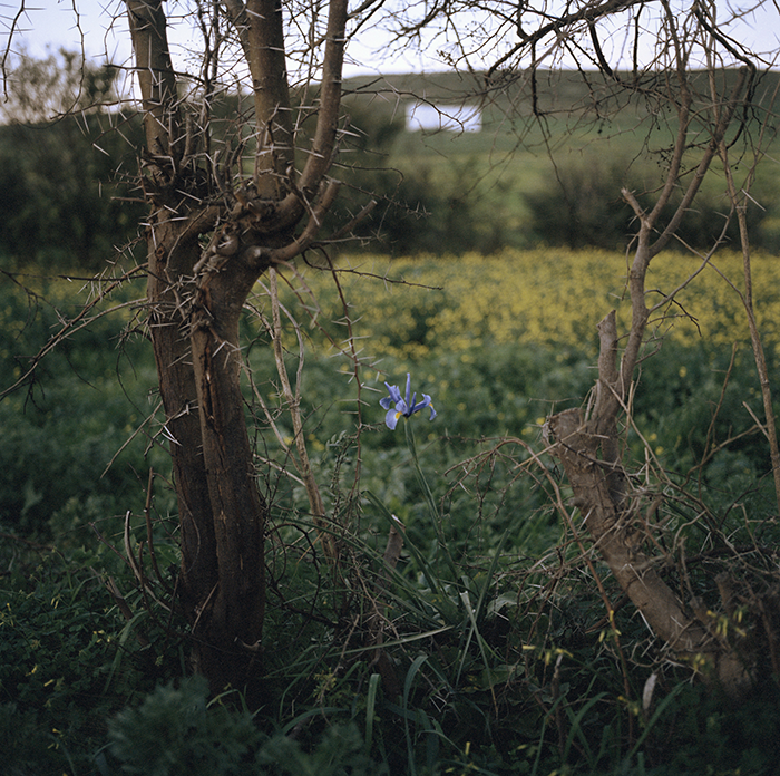 Yto Barrada / Yto Barrada - Iris et ronces - Tanger / Iris Tingitana series / C-print 2007 - Edition of 5- Only one size / 80 x 80 cm